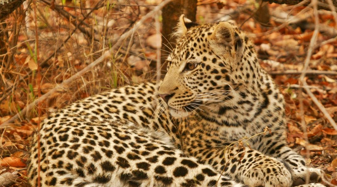 A leopard at a wildlife reserve in Botswana